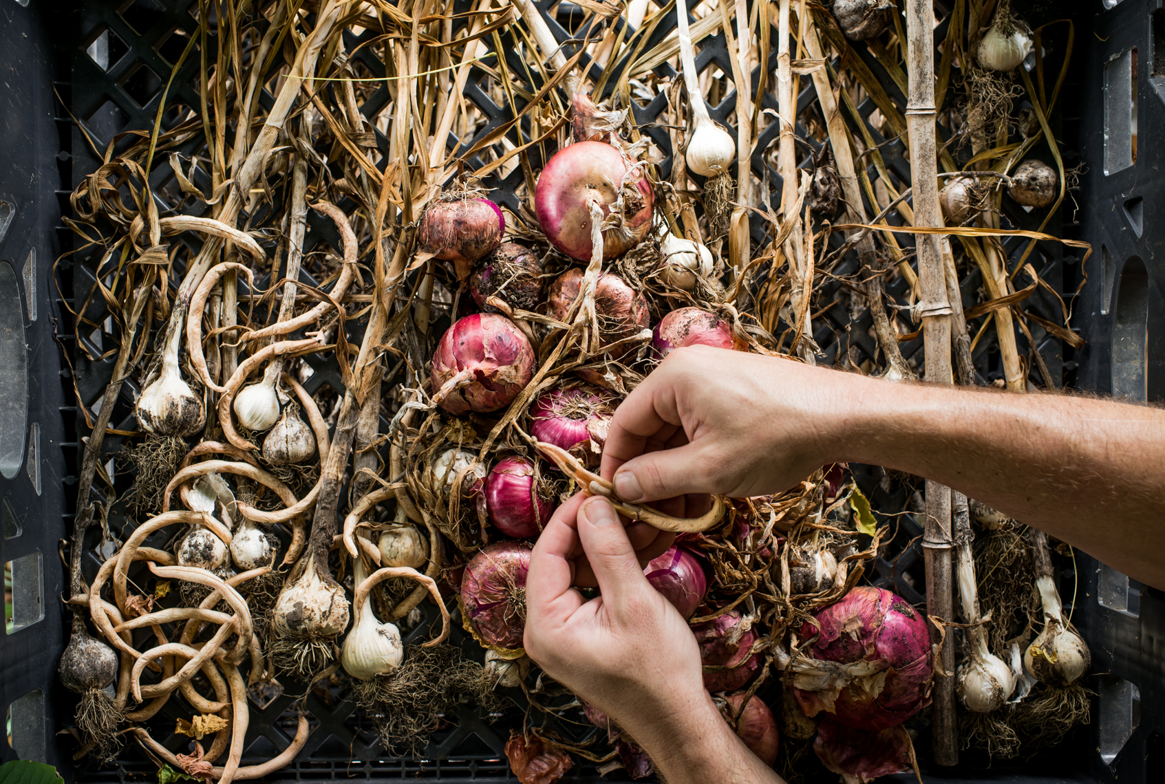 Onions, Garlic, Urban Organic Farm, Nashville, Tennessee, Food Photographer, Nashville food stylist , hands, lifestyle photographer, food photo, ingredients, gardening, grower, growing, farming